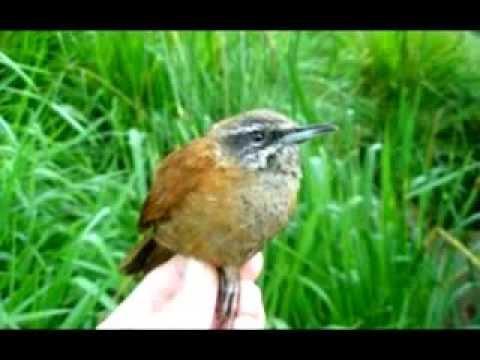 Baixar Músicas raizes com pássaros 1
