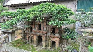 SH.1094.Cây Sanh cổng làng vườn cảnh Phan Cường. Thanh Ba.Phú thọ.