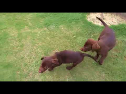 Chocolate Labrador Puppy Video