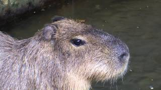 Poor, Frightened Capybara All Alone during a Thunderstorm