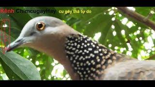 chim cu gáy cực đỉnh  10 triệu  ko bán (cơ sở bán giống  các loại 01635305982)