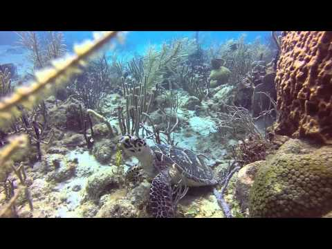 Hawksbill turtle and the whales song