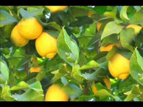 Brothers Four ~ Lemon Tree