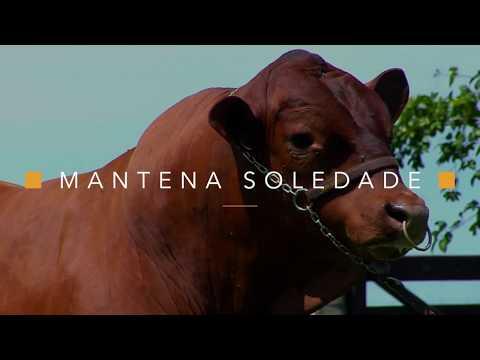 Conheça o touro MANTENA SOLEDAD...