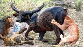 LIVE: Craziest Animals Fight Of Wild - Power Of Mother Buffalo Destroy King Lion Save Calf