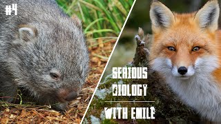Wombats, the most playful and intelligent marsupials - Serious Biology for Kids #4