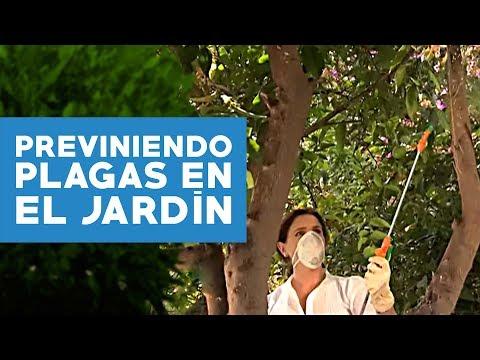 C mo prevenir plagas cuidar del lim n y resembrar el pasto - El jardinero en casa ...