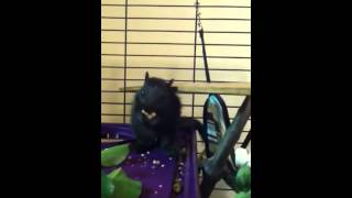 Acorn eating black squirrel