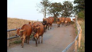 Produção de leite na Ilha de Jersey