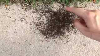 Drawing with Ants
