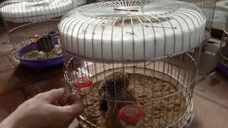 Thuần hóa chim đa đa mộc .