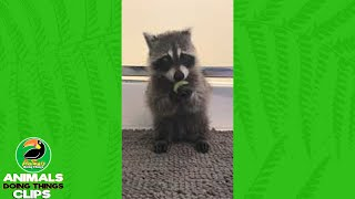 Baby Raccoon Eating a Grape | Animals Doing Things Clips