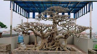 Một trong những tác phẩm cây cảnh đẹp nhất Việt Nam ra nước ngoài thi đấu