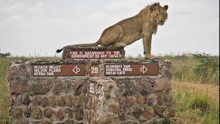 Lions - Mohawk the Lion at Nairobi National Park (HD)