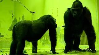 The love of gorillas ゴリラの愛 R18指定 モモタロウとゲンキの愛の営み 京都市動物園