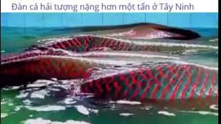 Đàn cá hải tượng nặng hơn một tấn ở Tây Ninh
