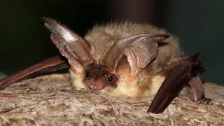 An introduction to British Bats