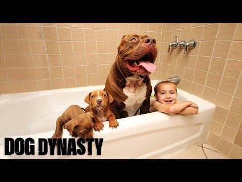 Giant Pit Bull Hulk's $500,000 Puppy Litter | DOG DYNASTY