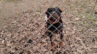 Mean Rottweiler next door