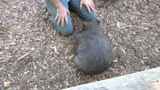 Let's Meet Lucy the Wombat