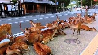 Horde of deer occupying the road at Nara. 奈良公園の鹿達、道路を占領して涼を取る
