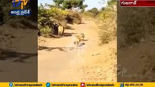 Viral Video: OMG!! Lioness gives way for biker in Gujarat..