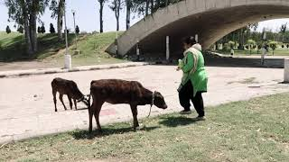 Feeding ककड़ी to the lovely Cow and Cute Calfs