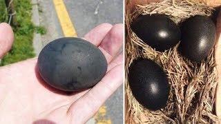 Kümeste 3 Siyah Yumurta Buldu... İçinden Çıkanları Görünce Çok Şaşırdı!
