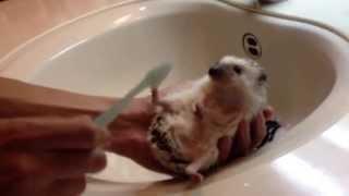 ハリネズミを歯ブラシでブラシング1