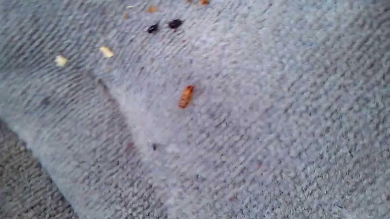 Carpet Beetles Timeline