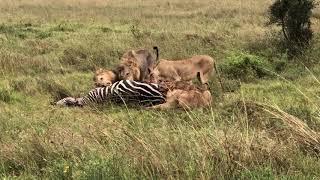 Lions eat zebra at Nairobi national park