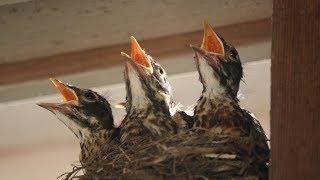 Baby Robins: Feeding to First Flight & Leaving Nest (HD)