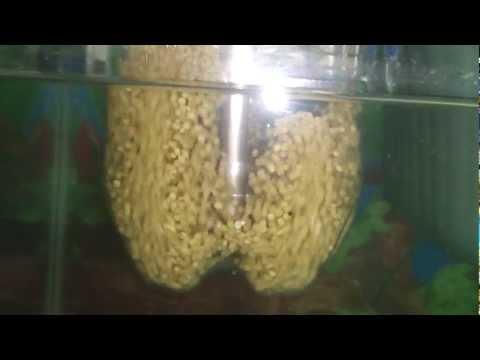 Como criar mojarra tilapia apareamiento y reproduccion 7 for Criar mojarras en casa