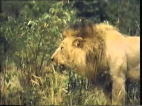 Baixar BIG LION FIGHT www keepvid com