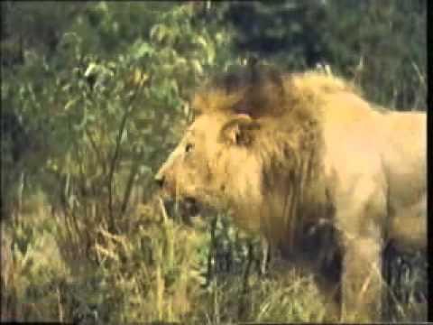 Baixar BIG LION FIGHT www keepvid com
