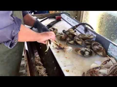 Cleaning crab at the Sooke Harbour docks