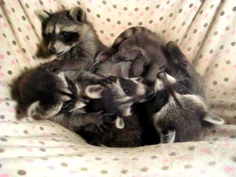 Five 8 Week Old Baby Raccoons Playing In Their Hammock