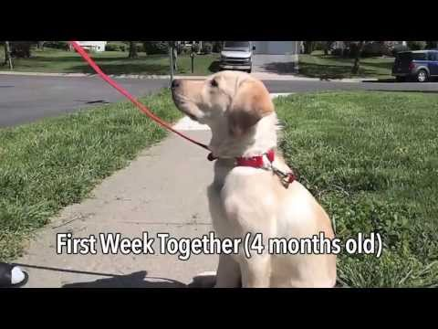 Raising A Service Dog Puppy!