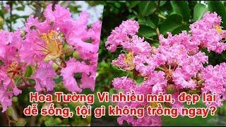 Hoa Tường Vi nhiều màu, đẹp lại dễ sống, tội gì không trồng ngay?