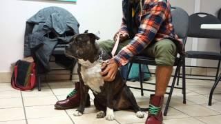 Succès taille des griffes grâce au toilettage comportemental TCAP/American Staffordshire Terrier