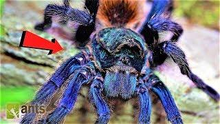 World's Most Beautiful Tarantula