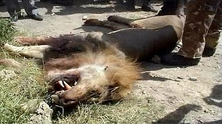 Lion shot dead after escaping from Nairobi National Park