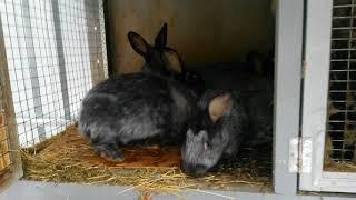 Кролики Полтавское серебро ( брюки превращаются.....)