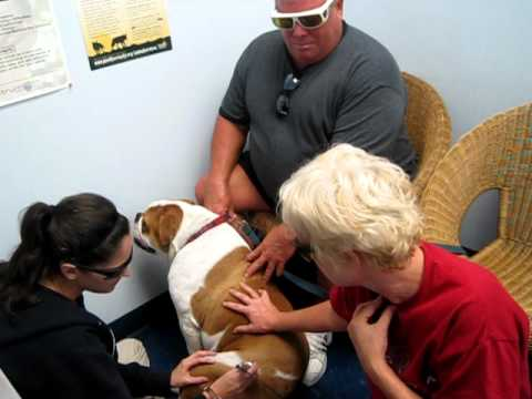 """Bruce"" O'Connor the English Bulldog gets K-Laser Treatments for Hip Dysplasia www"