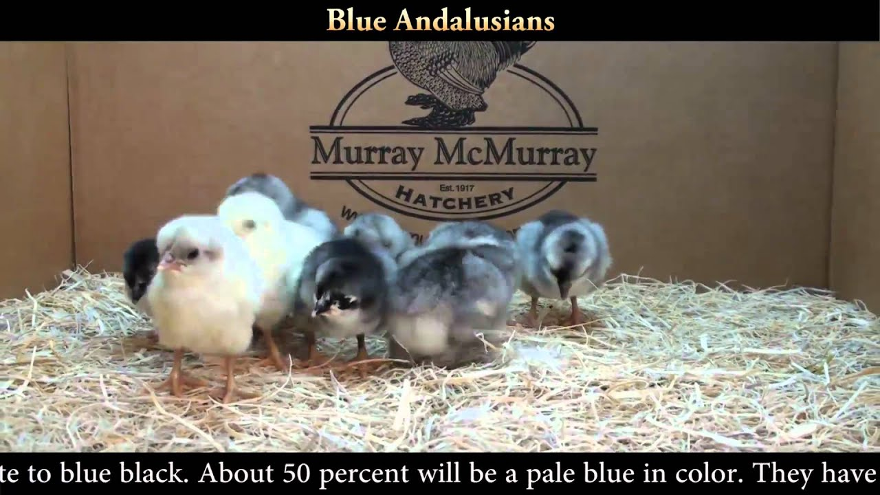 Blue Andalusian Mcmurray 54