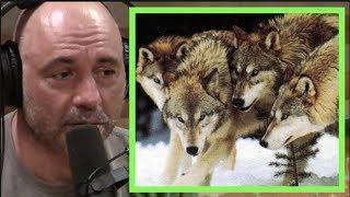 Joe Rogan | Wolf Super Packs in Russia