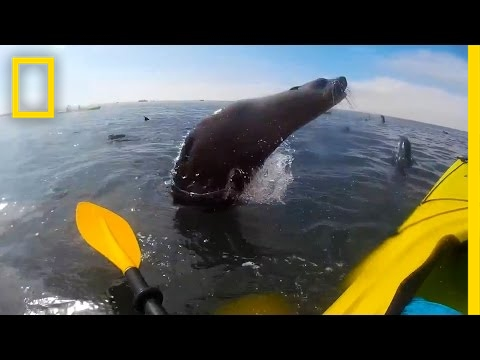 Watch: Cape Seal Collides With Kayaker | National Geographic