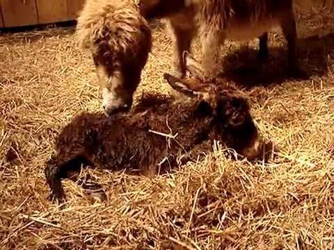 Porođaj magarice