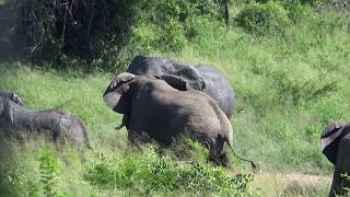 Bull Elephants fighting, trumpet and chase to road