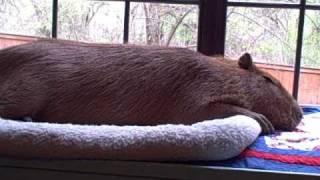 Capybara Bark